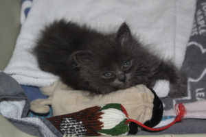 Small black kitten by cat toys