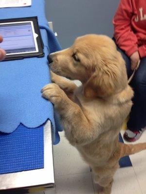 Golden Retriever looking around vet office