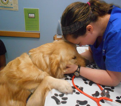 Golden Retriever being checked out by Dr. Lindsay