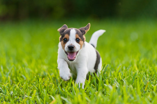 Beagle puppy running in the grass.