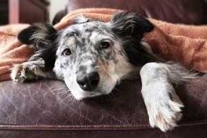 iStock-508179718_senior-dog-300x200